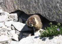 Marmot, Mt. Whitney Main Trail
